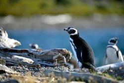 Magellanic penguin.