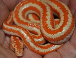 Male Albino Whitewater Rosy Boa