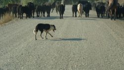 Real cattle dog working!