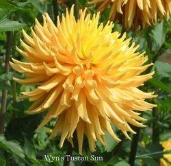 Wyn's Tuscan Sun- A C LtBl Y/Y