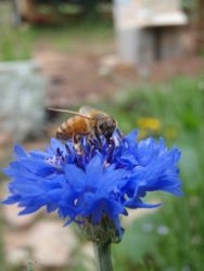 Bee on blue flower