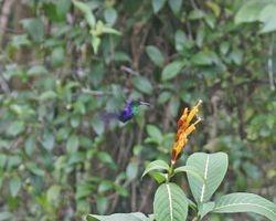 Violet-crowned Wood Nymph