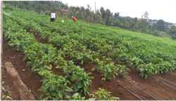 Garden plot in Kenya