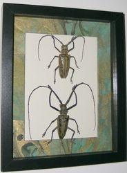 Batocera wallacei- Longhorn beetle pair