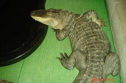Gonzo the alligator
