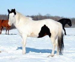 LITTLE BIT OF BLACK, APHA Stallion