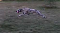 Ziggy running with ball