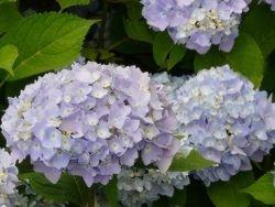 """Lavender Reverence - 30"""" x 40"""""""
