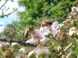 Bees on Blackberry