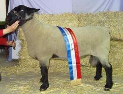 Champion Suffolk Horsham