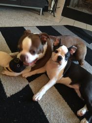 Frankie at home with her red Boston Buddy in Tennessee