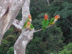 White-bellied Parrot  (Caïque à ventre blanc)