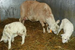 #10 with lambs