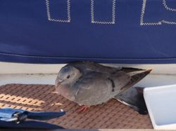 Pidgy - our stowaway friend