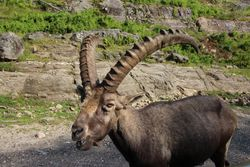 Alpine ibex at Parc Omega, Montebello
