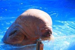Walrus - Seaworld, Orlando FL
