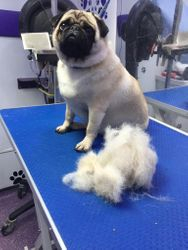 A pug with enough dead hair to make another pug