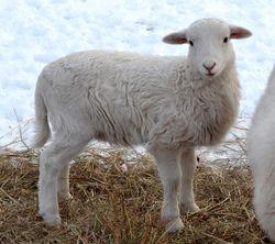 2014 St Croix ram lamb
