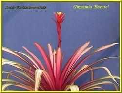Guzmania 'Encore' $45.00