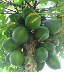 POP POI TREE (PAPAW)