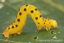 Geometrid moth, Wanang