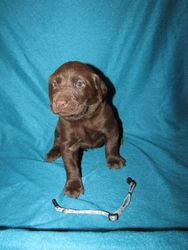 4 Weeks Old - Blue Bones Collar Male