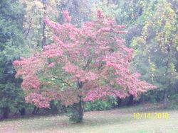 Fall Dogwood