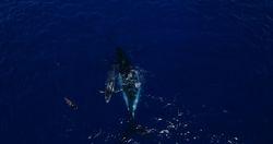 Humpback in Tonga