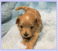 Maltipoo FurBabies Kieran at 3 weeks old