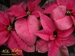 Nochebuena (Poinsettia) #2