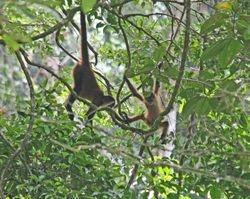 Spider Monkeys at play