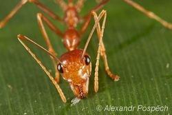 Ant, Wanang