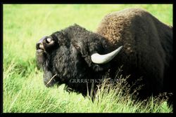 Young Plains Bison practising his rutting call