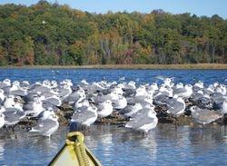 Terns on Aquia Creek, Virginia
