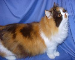 """""""Chanel"""" chocolate calico longhair Persian non-standard young mom."""
