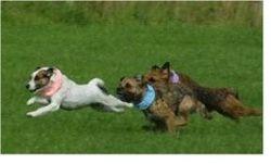 terrier racing at fun day