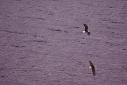 A pair of eagles flying over Kootenay Lake