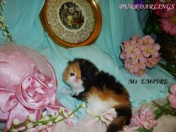 "DELIGHTFUL "" Ms EMPIRE"" DOMINANT  CALICO BLACK/RED/WHITE FEMALE  IS  RESERVED FOR PATRICIA"