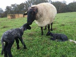 2017 drop lambs