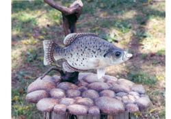 Black Crappie and carved rocks