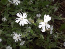 Night flowering catchfly flowers