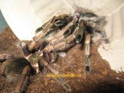P. ultramurinus breeding 2011 (2)