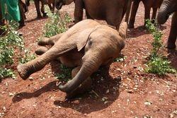 Baby Elephant at Elephant Orphanage, Nairobi