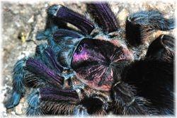 Phormictopus sp 'Purple'