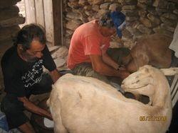 the milking, Mihalis & Dimitri at work