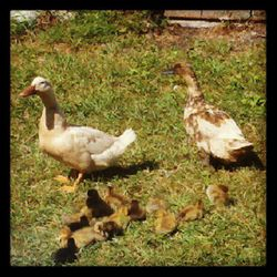New Ducklings! Two Mamas