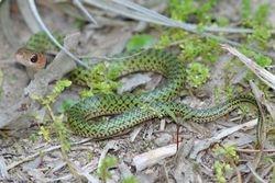 Cobra verde ( Liophis typhlus) juvenil