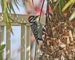 Nuttal's Woodpecker (m)