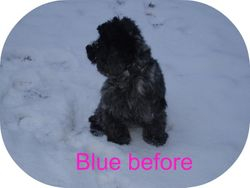 Blue Cocker Spaniel