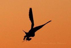 Short Eared Owl Hunt